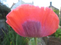 Sun through a poppy