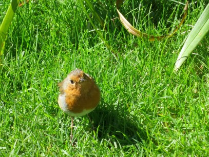 The robin that joined our picnic