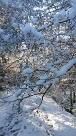 snow laden boughs