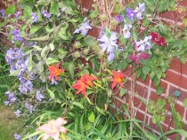 Day Lilies and Clematis