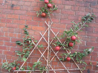 The start of training an apple tree on the south facing wall