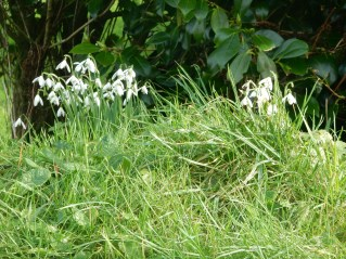 Snowdrops in the hedge