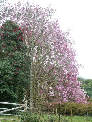 Huge Magnolia tree