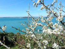 Blackthorn and sea