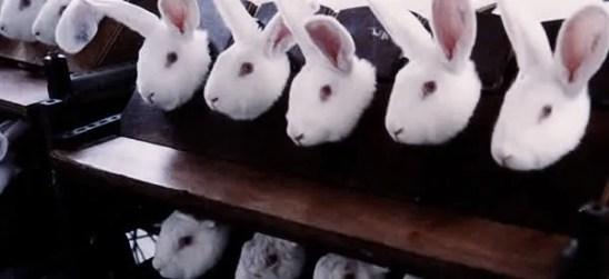 animal testing on rabbits