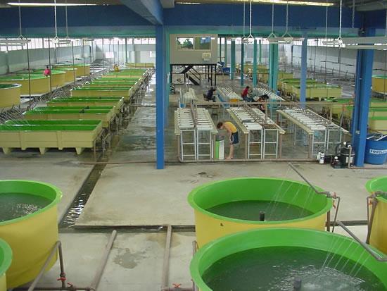 Estacão de Produção de Alevinos no Polo de Aquacultura de Paulo-Afonso - Jatobá – Itaparica em Pleno Funcionamento
