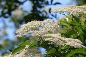 elderberry-flowers