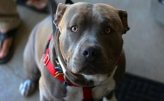 pitbull owner attacks