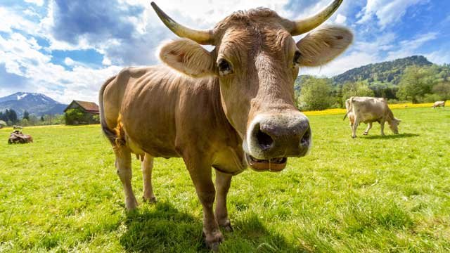 Cow tipping is a lot of bull jokes