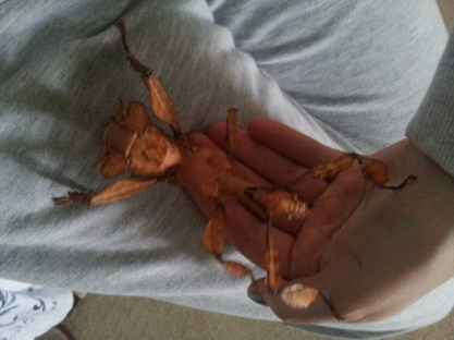 Meet Spiny stick insect