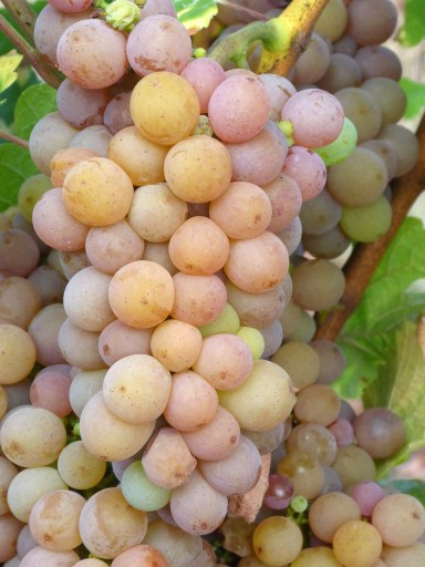 Pinot Grigio Grapes - the grapes that makes the Jean de Perlè