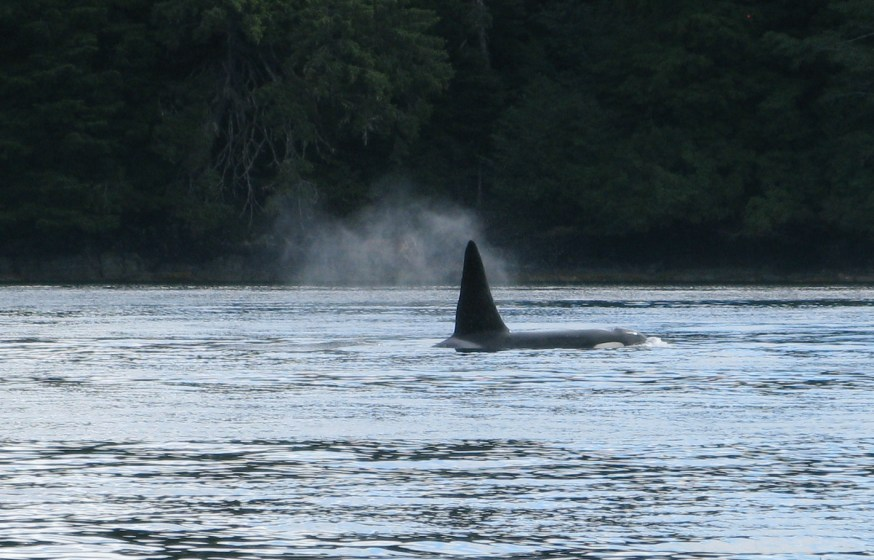 killer whale near Vallenar Point