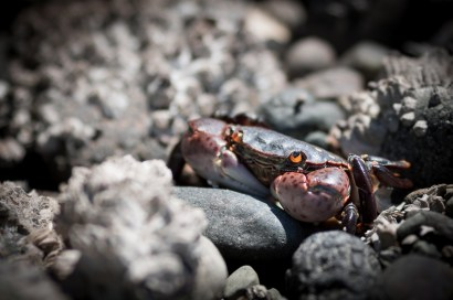 close of of little crab in the rocks