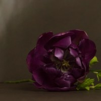 Tulip Portrait: Double Purple