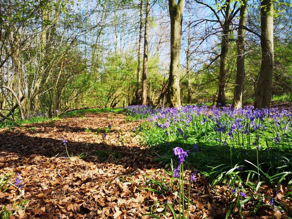 Dzwonki na wiosnę rosną niemal we wszystkich lasach Wielkiej Brytanii