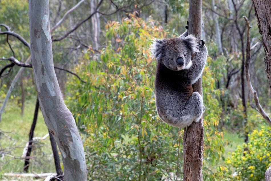 Koala w Adelaide