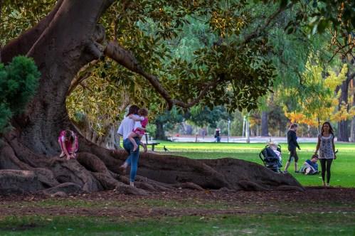Jeden dzień w Adelaide - figowce w parku