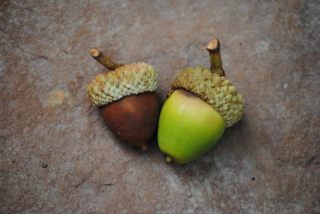 Image result for acorn shells