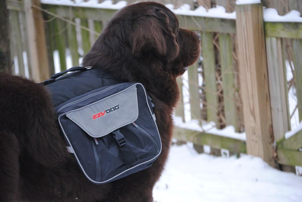 EzyDog Summit Dog Backpack On Big Dog