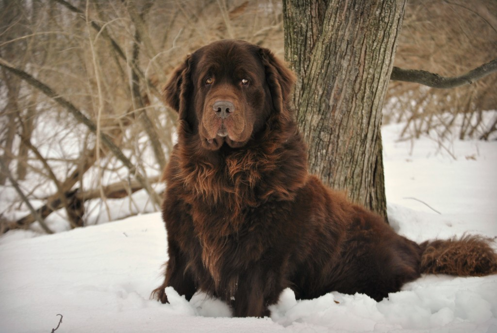 Meet The Newfoundland. 20 Fun Facts About The Newfie
