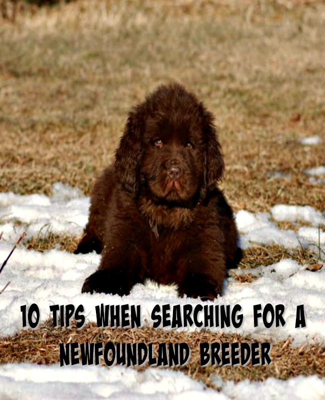 10 tips when searching for a newfoundland breeder