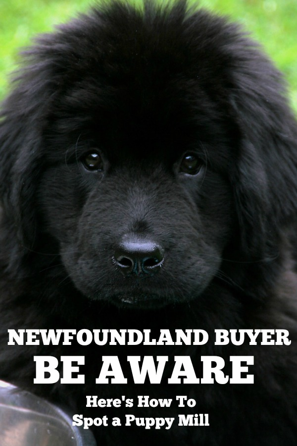 Newfoundland Buyer Be Aware: Here's How To Spot A Puppy Mill - My