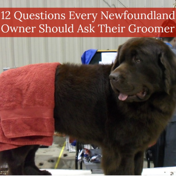12 Questions Every Newfoundland Owner Should Ask Their Dog Groomer