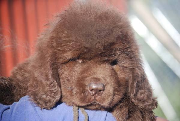The 4 Life Stages Of The Newfoundland Dog - My Brown Newfies