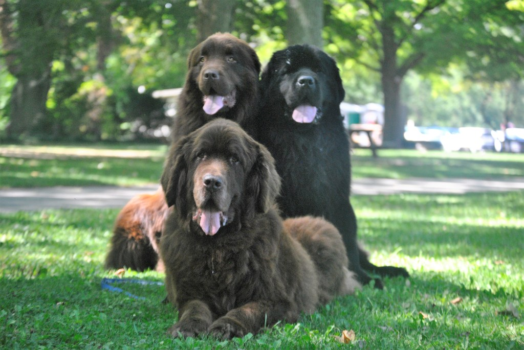 a trio of newfies