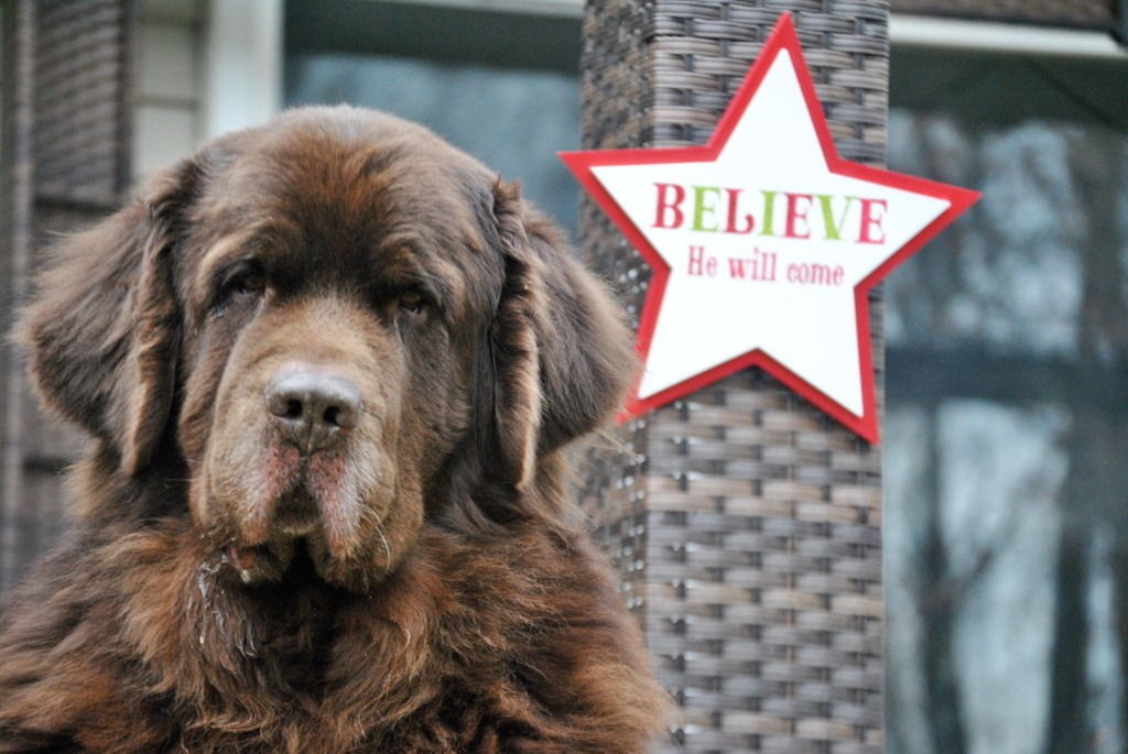 brown newfie dog with star