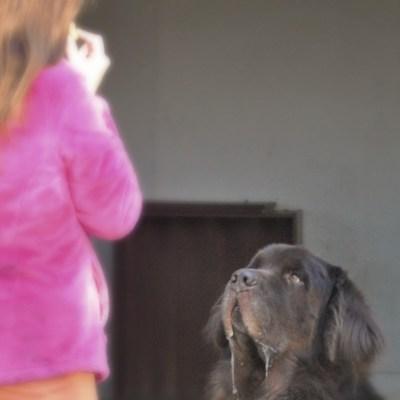 10 Tips For Training Your Newfoundland Dog