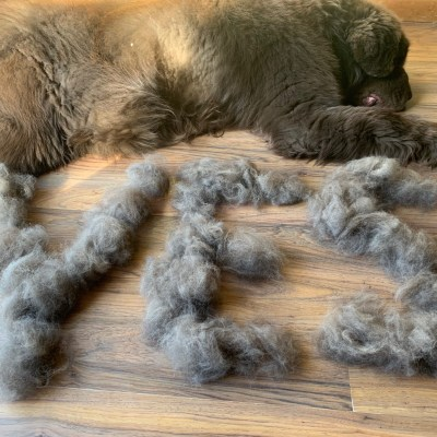 How Often Do Newfoundland Dogs Shed