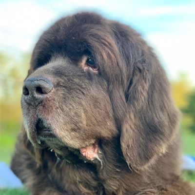 senior newfoundland dog enjoying a day outside