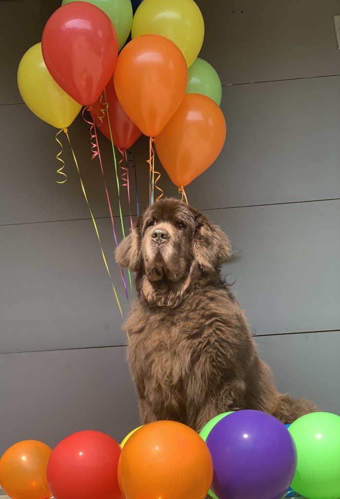 newfoundland dog with birthday balloons