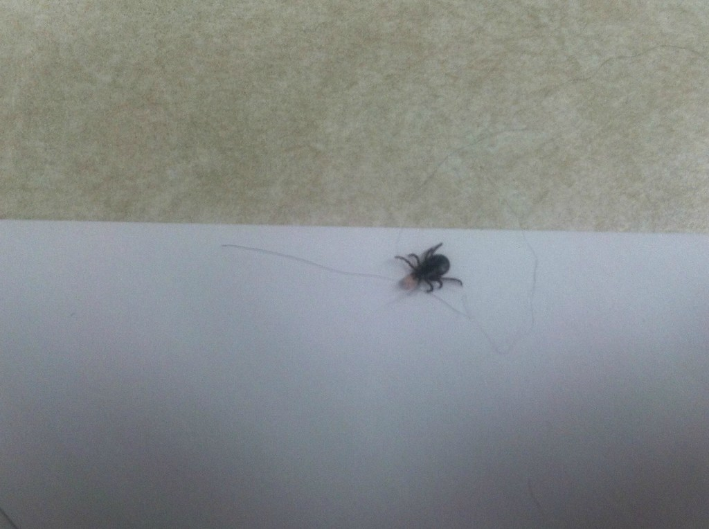 engorged american dog tick pulled from a dog