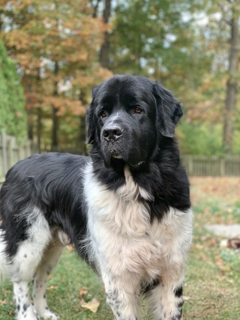 black and white newfoundland dog