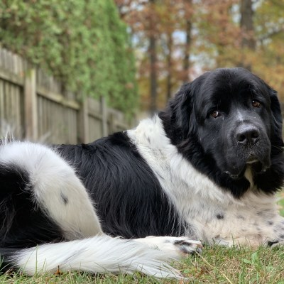 black and white adopted newfoundland dog