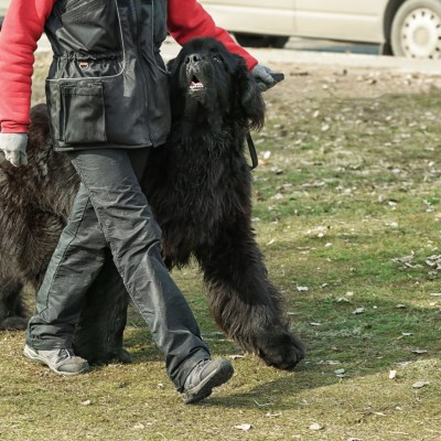 The Newfoundland As A Working Dog