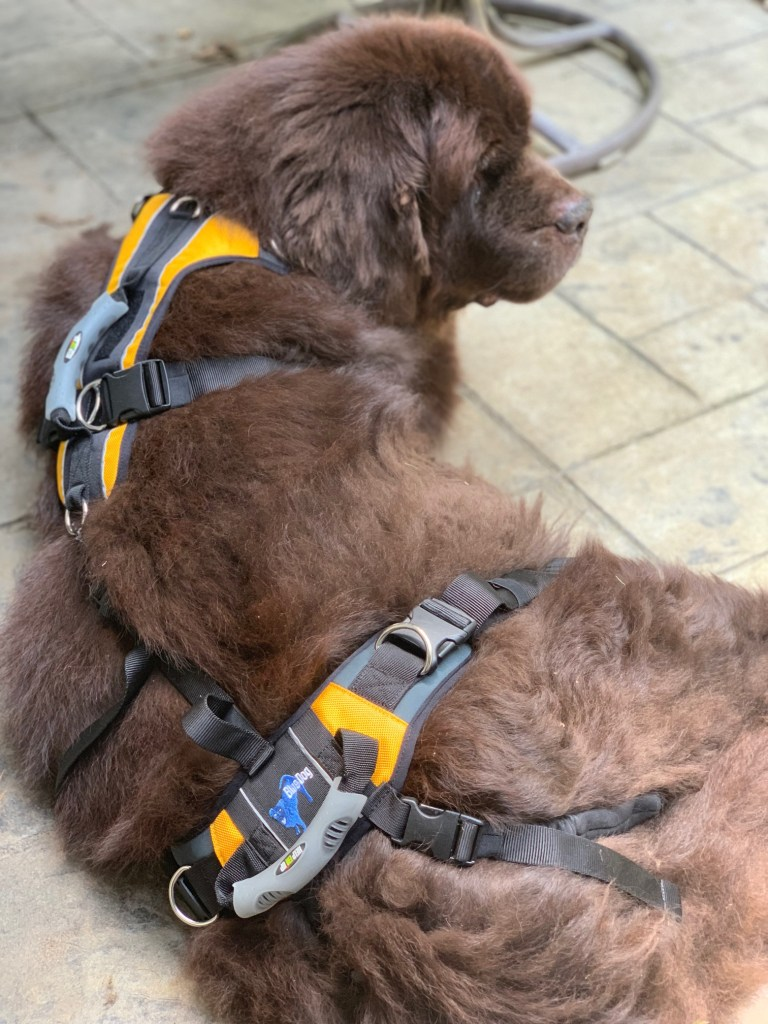 newfoundland dog wearing lifting harness