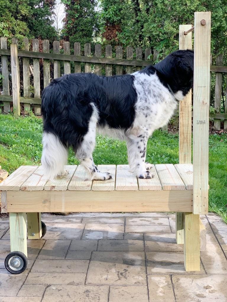 landseer newfoundland standing on wooden grooming table