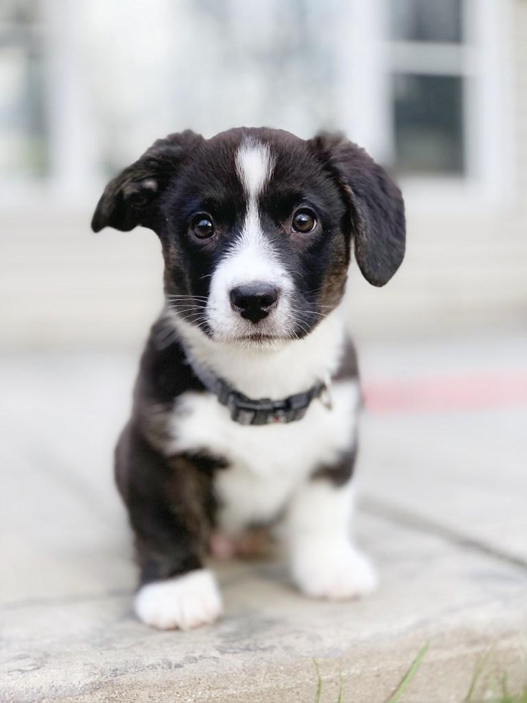 cardigan welsh corgi puppy