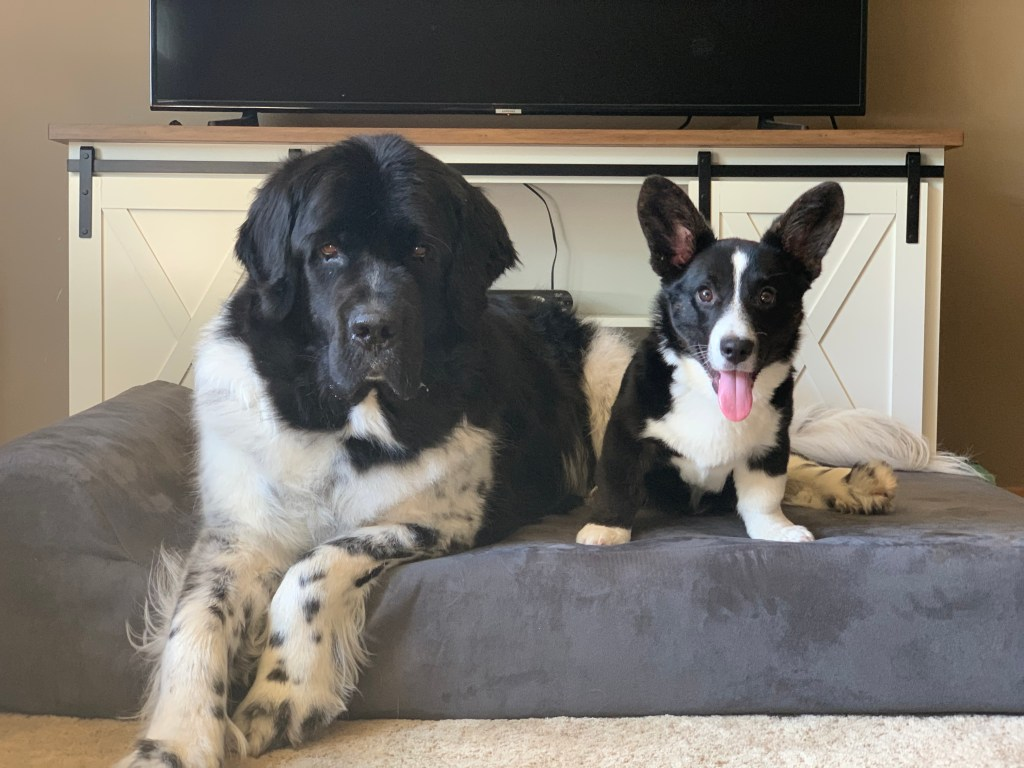newfie and corgi on a dog bed