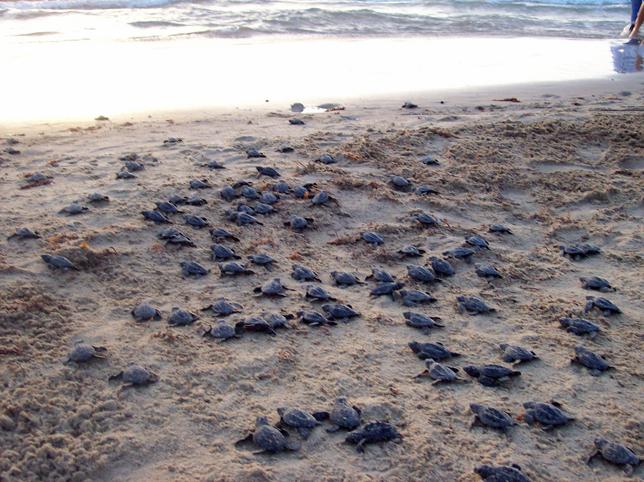 거북이가 부화해서 바다로 기어가는거 보기