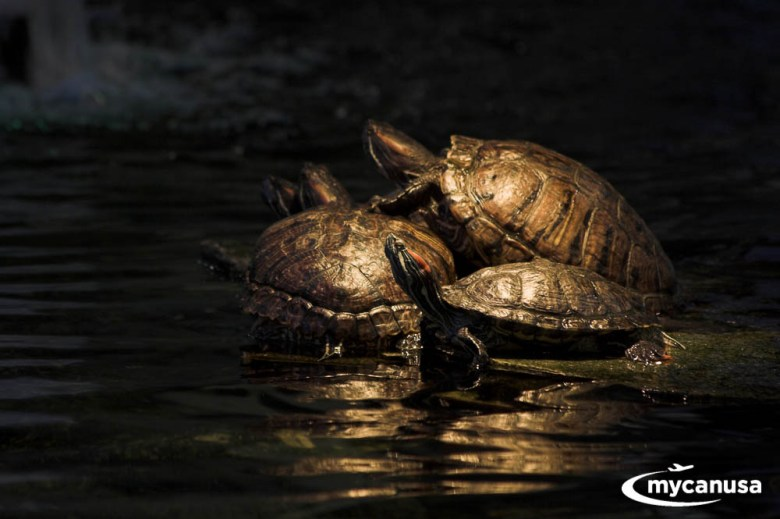 Calgary Devonian Gardens Turtles