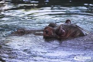 Calgary Zoo Hippo