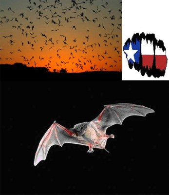 Bats of Texas @ Guadalupe River State Park | Spring Branch | Texas | United States