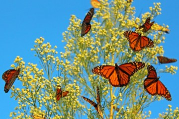 monarch butterflies sitting on milkweed.