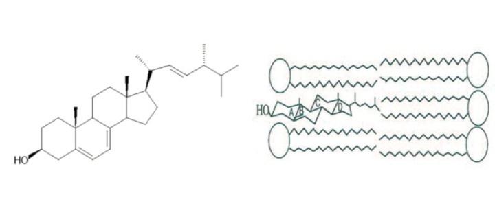 Fiche technique: Détermination de la biomasse fongique via le dosage de l'ergostérol