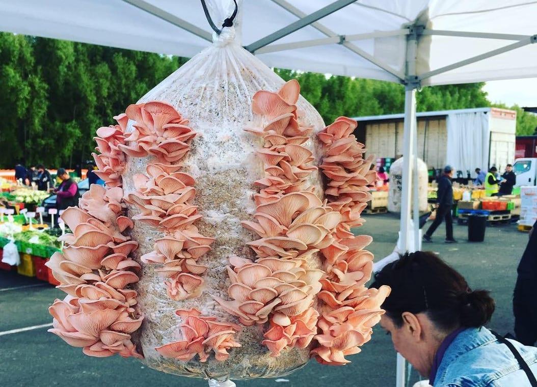 5kg Pink oyster mini-farm