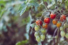 healthy nature garden tomatoes